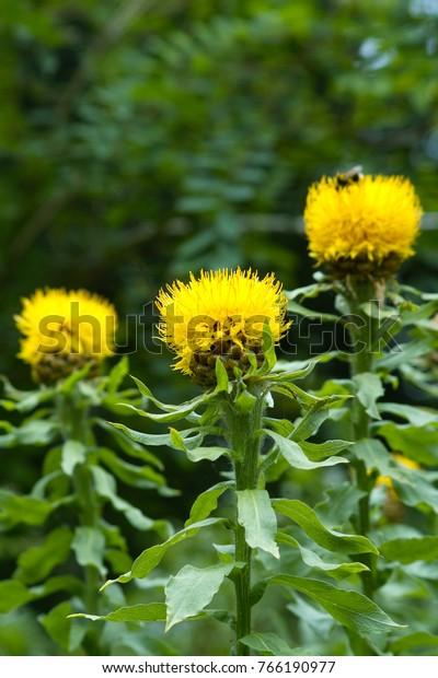 Yellow Flower Bighead Knapweed Centaurea Macrocephala Stock Photo Edit Now 766190977