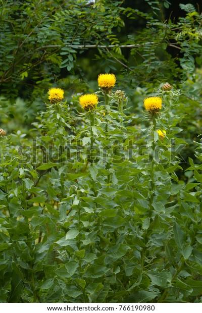 Yellow Flower Bighead Knapweed Centaurea Macrocephala Stock Photo Edit Now 766190980