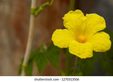 a yellow flower of a bindweed