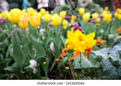 Yellow Flower Bokeh Tulip Background
