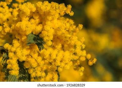 Ramo de flores amarillas de la mimosa con hojas verdes