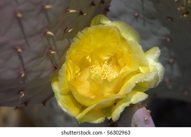 Yellow flower from Brown-spined Prickly Pear Cactus(Opuntia phaeacantha)
