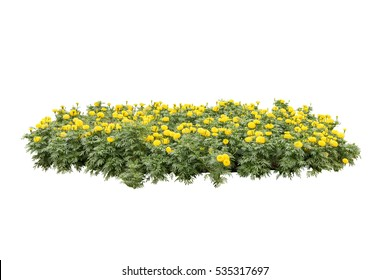 yellow flower bush tree isolated white background