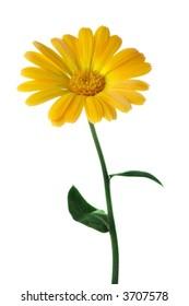 yellow flower calendula over white