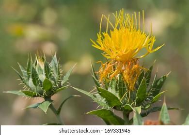 yellow flower of Carthamus tinctorius