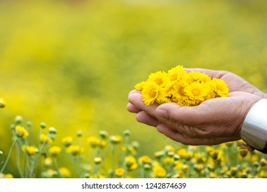Yellow flower Chrysanthemum or Dendranthema indicum L. show on hand of farmer with garden background.