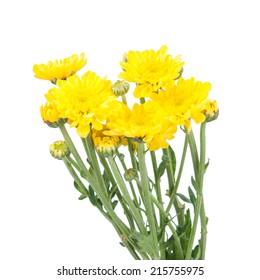 Yellow flower (Chrysanthemum yellow) isolated on white background