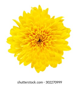yellow flower chrysanthemum top view, isolated on white