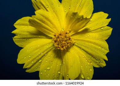 Yellow Flower close up with rain drop