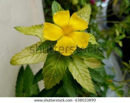 Yellow Flower Close Yellow Sage Rose Stock Photo Edit Now