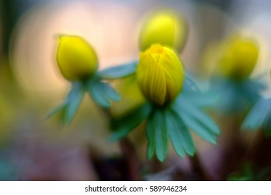Yellow flower closeup - Eranthis hyemalis - early signs of spring