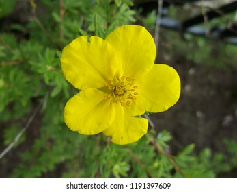 Yellow flower close-up. Gardening and floriculture.