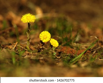 Yellow flower coltsfoot herbaceous perennial of medical plant in grass on meadow near forest with green leaves and stem at sunset. Blooming spring flower Tussilago farfara on garden