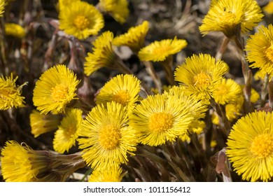 Yellow Flower Coltsfoot (Tussilago farfara), Bavaria, Germany, Europe