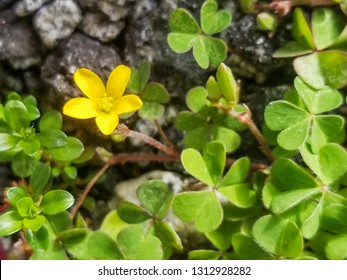 Yellow flower of creeping woodsorrel or procumbent yellow-sorrel, Oxalis corniculata, growing in Galicia, Spain