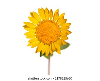 Yellow flower of curly-top gumweed, Grindelia squarrosa, isolated on white