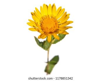 Yellow flower of curly-top gumweed isolated om white, Grindelia squarrosa