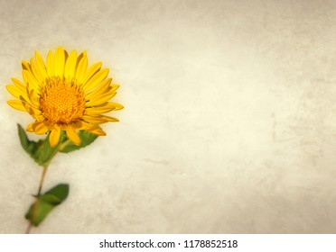 Yellow flower of curly-top gumweed on old paper background