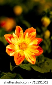 Yellow flower Dahlia for background.
