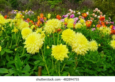 Yellow flower Dahlia with green leaf background. Yellow dahlia blooming in the garden