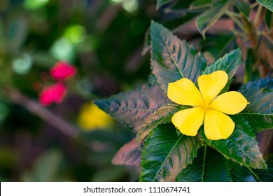 Yellow flower of  Damiana with blur background