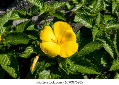 An yellow flower of damiana in the green.