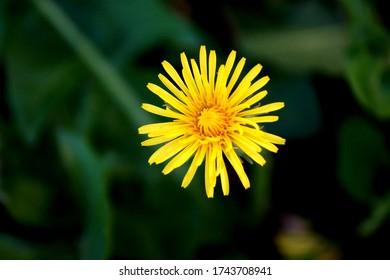 Yellow Flower dandelion with dark background. Macro. Gelbe Blume Löwenzahn mit dunklem Hintergrund. Makro. Zoom.