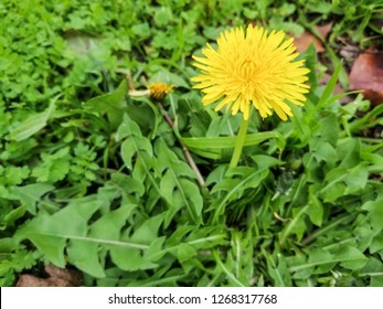 Yellow flower of dandelion medicinal plant, Taraxacum officinale growing on meadows of Galicia, Spain