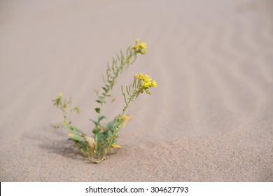 Yellow Flower in the Desert