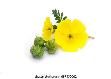 Die gelbe Blume des Teufeldorns (Tribulus terrestris pflanze) mit Blatt und Samen auf weißem Hintergrund.
