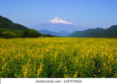 Yellow Flower farm and mountain Fuji with clear blue sky background