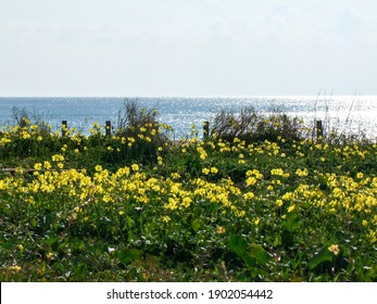 Yellow flower field background. Oceanscape.
