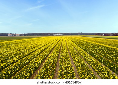 Yellow flower field blossoming in the Netherlands