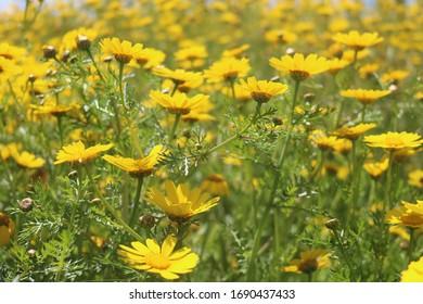 Yellow flower field in cyprus
