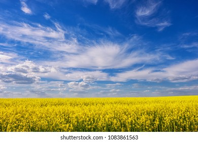 Yellow flower field rape and blue sky with beautiful clouds in summer