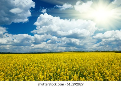 Yellow flower field with sun, beautiful spring landscape, bright sunny day, rapeseed