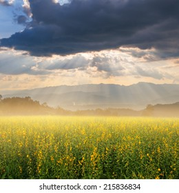 Yellow Flower fields and Sunset