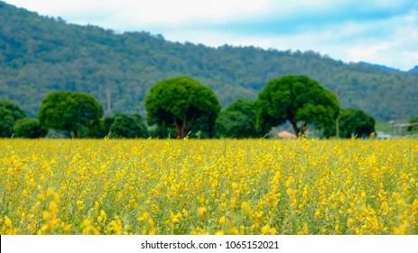 Yellow flower filed, Sunn hemp, Madras hemp or Crotalaria juncea.