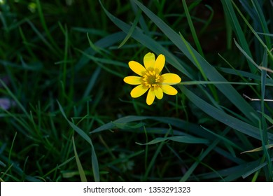 Yellow Flower is the First sign of Spring