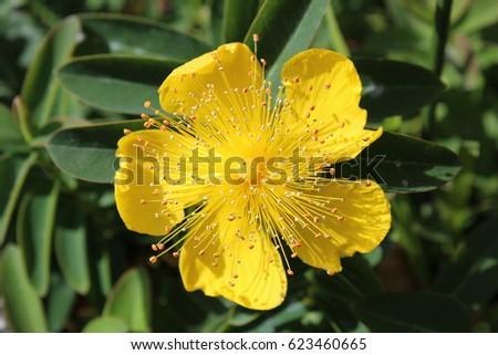 Yellow flower five petals stock photo edit now 623460665 yellow flower with five petals mightylinksfo