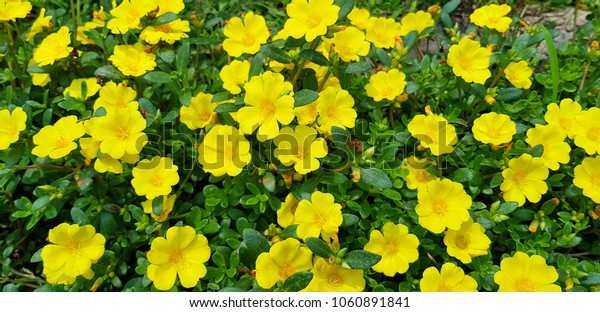 Yellow flower in gaden