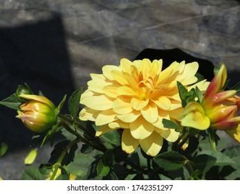 Yellow flower in a garden.
