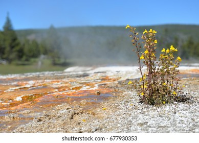 Yellow flower at geothermal pools in Yellowstone Park.