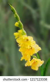 The yellow flower of gladiolus meets the morning sun and rejoices in summer. beautiful gladiolus flower isolated on green background