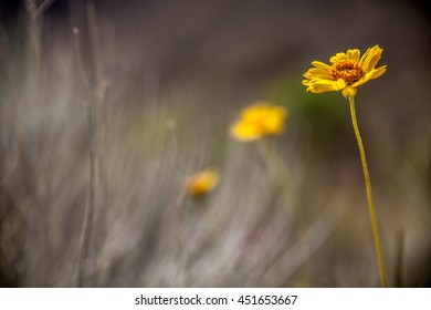 Yellow flower in Grand Canyon National Park, Arizona, USA