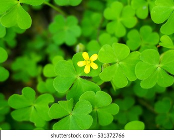 yellow flower with green clover leaves