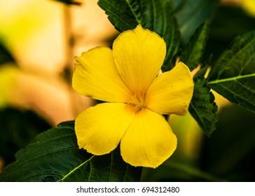 Yellow flower Green leaf
