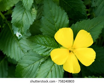 Yellow flower with green leat, Damiana