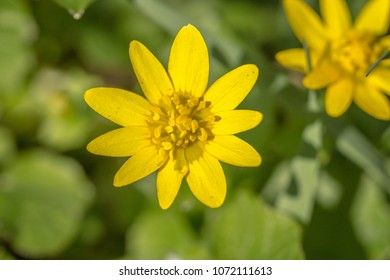 Yellow flower growing and blooming on a meadow on a spring sunny day