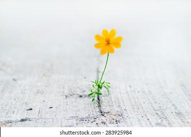 yellow flower growing on crack street, soft focus